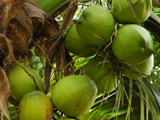 JLP Food Processing - Coconut