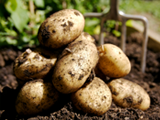 JLP Food Processing - Potatoes